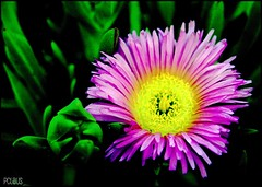 Iceplant (BurstsofSingleMindedness) Tags: catchycolors neon iceplant utata groundcover inlandempire xeric fantasticnature supereco heatlovingflowers