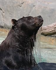 Swim Time (JNad) Tags: bear brown closeup digital swimming swim canon rebel zoo illinois il brookfield alaskan xsi brookfieldzoo grottos illinoisflickrjournal flickrsbest 450d rebelxsi flickrjournal