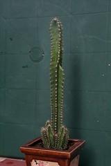 Cereus tetragonus 'Fairy Castle' (siwa) Tags: cactus cacti suculent cereus kaktus fairycastle kaktusy sukulenty sukulent cereustetragonus