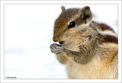squirrel - Please forgive me (Umang Dutt) Tags: india cute smile wow interestingness amazing squirrel flickr dof image indian picture adorable depthoffield indians nikkor potrait animalplanet gujarat ahmedabad forgiveness dutt bryanadams umang funambuluspalmarum indianpalmsquirrel explored 70300vr umangdutt pcafaces