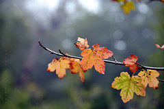 (Alieh) Tags: autumn red color tree green fall contrast forest persian leaf colorful iran bokeh persia iranian cloudforest         aliehs alieh      abrforest