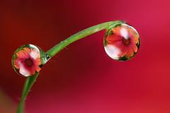 Osteospermum dewdrop refraction #1 (Lord V) Tags: flower macro water dewdrop refraction alemdagqualityonlyclub alemdaggoldenaward macroqualityonlyclub