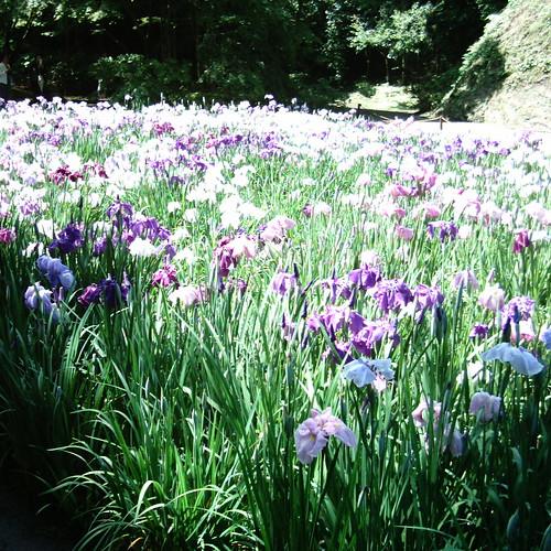 Iris field [ Meigetsu-in / Kamakura ]