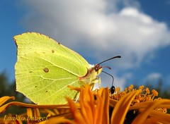 Commensalism at its cutest (Sue323 :-)) Tags: blue autumn sky flower macro fall nature yellow clouds canon butterfly suomi finland insect maria images sue syksy perhonen kerimki luonto laakso sininen kukka taivas hynteinen keltainen commensalism symbioticrelationship insectphotography canonpowershota710is marialaakso sue323
