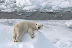 IJsberen op Spitsbergen, augustus 2008. (Martha de Jong-Lantink) Tags: svalbard polarbear spitsbergen ijsbeer ursus eisbr ursusmaritimus noorwegen oursblanc isbjrn professormolchanov seenonflickr