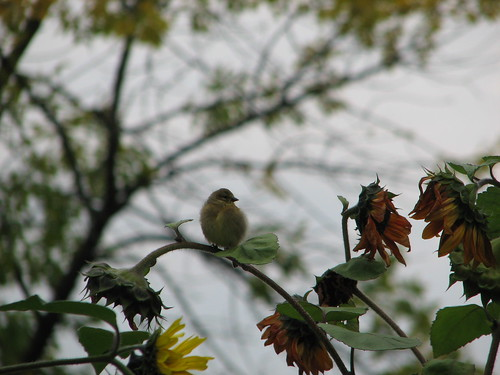 cute little bird on sunflowers