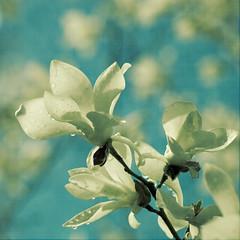 Magnificence (borealnz) Tags: white flower square spring bokeh magnolia bsquare hbw infinestyle memoriesbook thankslydiatelzeyforhermostbeautifultexture andforherhelp borealnz