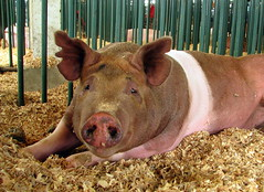 100 Things to see at the fair #13: Swine Barn