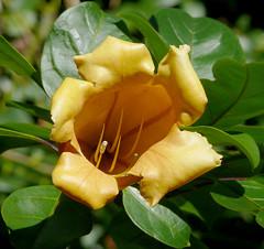 Solandra maxima #1 (J.G. in S.F.) Tags: flower vine macroflowers sanfranciscocalifornia solanaceae solandramaxima sfbotanicalgarden ubcbotanyphotooftheday cupofgoldvine hawaiianlily goldenchalicevine