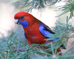 Hiding (belpo) Tags: blue red bird australia bluemountains animalplanet crimsonrosella 135mm2l specanimal auselite