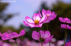 cosmos under the sky (bluehazyjunem) Tags: park pink autumn white memorial 2008 cosmos showa  anawesomeshot aplusphoto ultimateshot macroflowerlovers excellentsflowers natureselegantshots awesomeblossoms