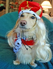 Queenie (Doxieone) Tags: red dog halloween costume robe dachshund queen crown halloweenfall2008set