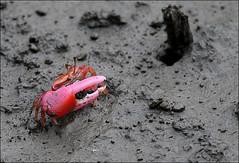 Crab (Z.Faisal) Tags: station river nikon crab nikkor bangladesh bangla faisal desh d300 zamir khulna sundarban zamiruddin zamiruddinfaisal kalagachi kholpetua ttlsafari kalagachistation kholpetuariver zfaisal