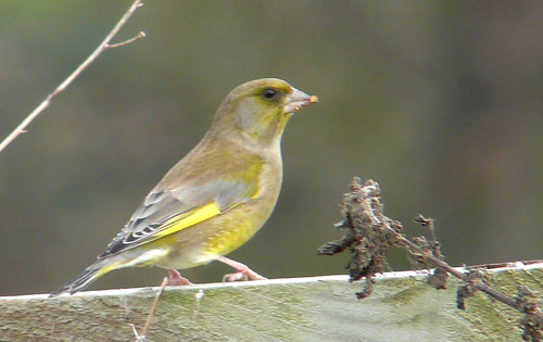 Greenfinch 04Nov08