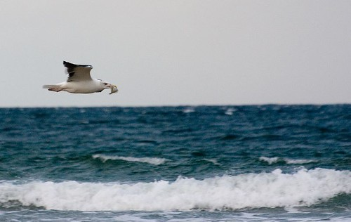 Greater black-backed gull fishing (3)