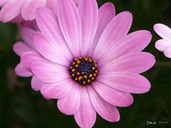 Happy Weekend  (Dave :-) (on and off)) Tags: pink flower macro nature closeup dave lovely blume makro nahaufnahme  awesomeblossoms vosplusbellesphotos