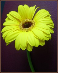 7 Natures delights (tracyhughes2_7. CPAGB LRPS) Tags: flower macro green nature yellow petals stem overtheexcellence wonderfulworldofflowers damniwishidtakenthat 100commentgroup newgoldenseal tracyhughes27