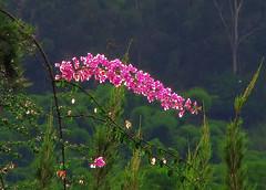 Morado sobre verde (Fran.Marchena) Tags: flowers naturaleza flores nature canon venezuela trinitarias franmarchena buganvillias