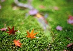 that's why i love autumn (*shinobu) Tags: 50mm moss maple kyoto kodak f14 olympus 100uc zuiko om1 kamigamo ultracolor