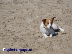 Jack Russel am Strand1 (.:Kaa:.) Tags: dog hund liegend