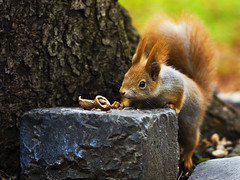 - a mkus - (*juice) Tags: squirrel walnut eat di mkus canoneos40d canon10028usmmacro