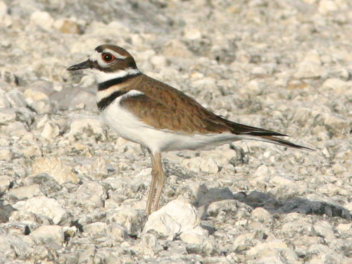 Killdeer 20081215