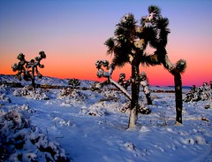 Joshua Trees in Winter (Rennett Stowe) Tags: california winter beauty sunrise landscape desert joshuatree scene highdesert lancaster northamerica southerncalifornia antelopevalley wintersnow desertcolors deserts wintersunrise joshuatrees mojavedesert morningsky snowscene americanbeauty theamericanwest desertsnow losangelescounty gatewaytothewest lancastercalifornia theunitedstates unusualtrees winterincalifornia desertsunrise desertscene prettyscene americandesert deserttrees beautifuldesert thebeautyofthedesert redskyinmorning winterinthedesert californiaunitedstates desertbeauty antelopevalleycalifornia lovelyscene thebeautyofcalifornia landscapecolors sunriseinthedesert unitedstatesdesert theantelopevalley thedesertsouthwest joshuatreesinwinter mojavedesertsnow highdesertscene livinginsourtherncalifornia californiasdeserts travelingtosoutherncalifornia mojavedesertlandscape thedayafterasnow vacationingincalifornia westermhemisphere northamericandesert thebeautyoftheunitedstates southerncaliforniawinter sunriseinthewesternunitedstates joshuatreelancaster theamericandesert vacationingintheunitedstates snowonjoshuatrees snowinthemojavedesert thehighdesertofcalifornia morningafterasnow peachsunrise thebeautyofamericanwest desertjoshuatrees thebeautyofthewesternunitedstates mojavedesertscene
