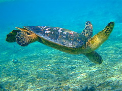 Green Turtle diving for food (Kumukulanui) Tags: hawaii honu bigisland cheloniamydas greenturtle kahaluu