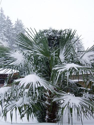 Trachycarpus snow