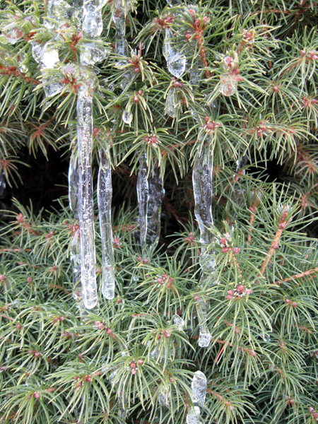 Icicles on Bush (Click to enlarge)