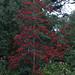 Rhododendron arboreum ssp. albotomentosum 'Robert Barry'