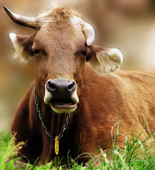 Holy Cow!  Nobody's Perfect! (dlco4) Tags: cow brownswiss