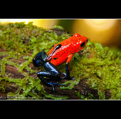 Blue Jeans Poison-dart Frog - Dendrobate Carrying it's baby! - Costa Rica (Lucie et Philippe) Tags: blue costarica amphibian frog jeans jungle tropical poison animaux dart dendrobates grenouille dendrobate