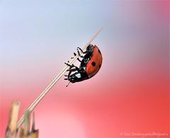 Beetle Acrobatics (nikkorglass) Tags: red macro cute home june closeup juni garden insect nikon dof sweden bokeh beetle climbing micro acrobatics ladybird ladybug sverige nikkor insekt f28 vr hemma trädgård röd d300 nyckelpiga coccinellidae söt närbild 2011 skalbagge klättra 105mmvr nikkorglass macrolife gullhöna