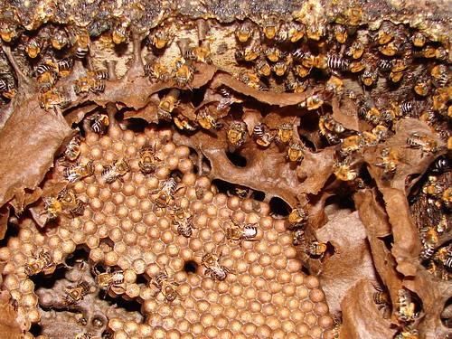 Crias, invólucro e abelhas de Melipona scutellaris (uruçu)