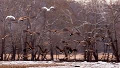 IMG_0261_edited-1 (buddy4344) Tags: wildlife snowgeese copyrightbuddyeleazer