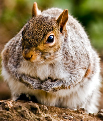 I'm not as nimble as I used to be (Stevekin) Tags: animals squirrel 30d coombeabbey stevekin canonef70300f456isusm