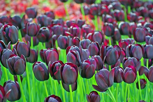 black tulips, istanbul tulip festival, istanbul, pentax k10d