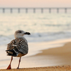 Baywatch (avirus) Tags: morning sea bird beach canon is sand bokeh northcarolina mm outerbanks 4l 70200 obx