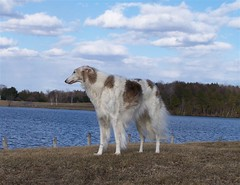 Myka at the lake (Ferlinka Borzoi (Deb West)) Tags: dog lake rose valley russian sighthound borzoi wolfhound