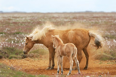 mmm.. (Ggja Einars..) Tags: family wild horses cute nature iceland spirit gorgeous rolling icelandic palomino foal icelandichorse hestur golddragon slenski