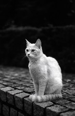 smart and manly cat (Leica M3) (potopoto53age) Tags: leica blackandwhite bw film monochrome smart animal japan cat 50mm blackwhite manly sit epson m3 yamanashi damncool fomapan leicam3 summitar kittysuperstar kissablekat fomapanaction400 action400 ernstleitzwetzlarsummitar50mmf2 theperfectphotographer goldstaraward epsongtx970 gtx970 smartandmanlycat
