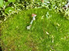 Cladonia sp. (dougwaylett) Tags: wild canada native alberta lichen cladonia fruticoselichen brownloweryprovincialpark