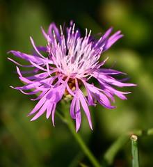Pinkish Nuances. (Doubter toad) Tags: pink flower rosa natura fiore nuances sfumatura fature
