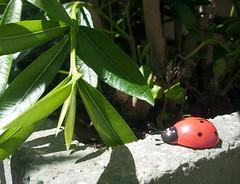 Coccinella a spasso (alfiererosso) Tags: red cute verde green rot leaves foglie hojas rojo ladybug rosso mariquita coccinella grun