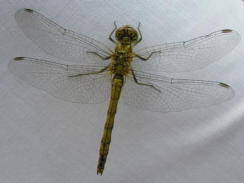 Sudenkorento ylhäältä katsottuna valkoista kangasta vasten