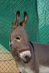 28. Hersbrucker Eselrennen (fiirvogu) Tags: donkey esel