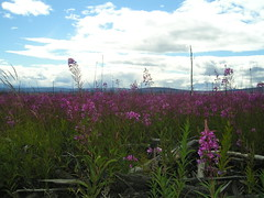 More fireweed photos