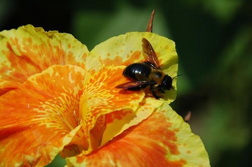 Bee on Canna
