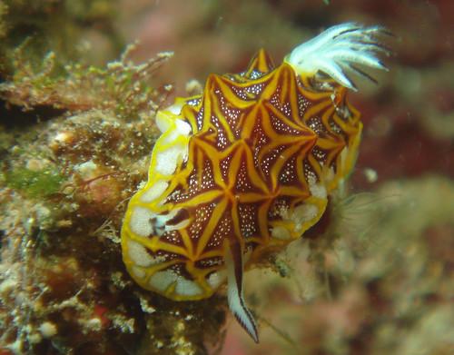 新朋友,黃橘色條紋海蛞蝓(1)